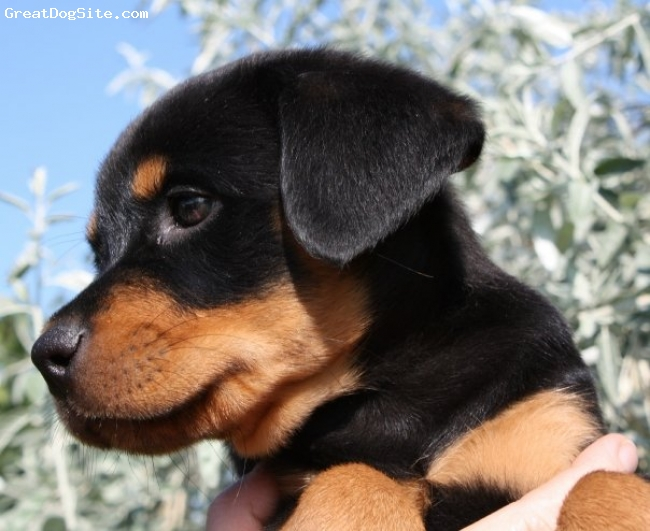 Rottweiler, 6 weeks, black and tan, Rotti pup