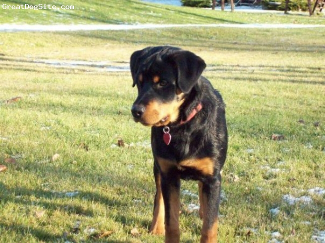 Rottweiler, 5 months, black and tan, Rotti pup