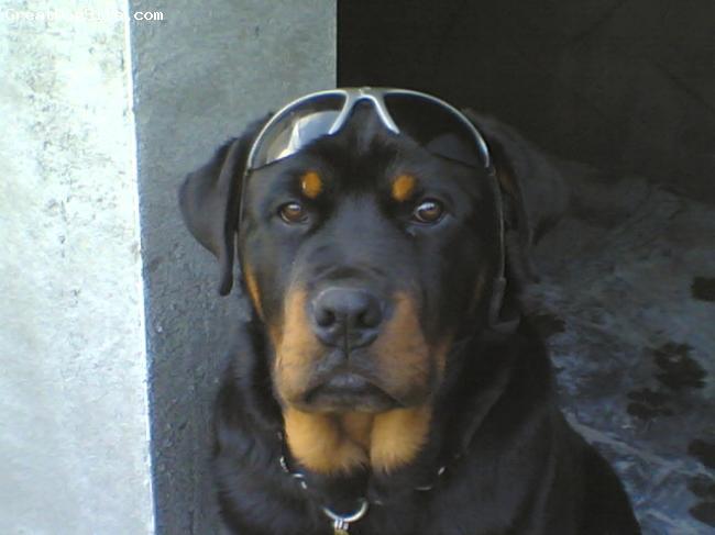 Rottweiler, 6 mths, black wid tan, LEO....my 6 mth old Rotty,