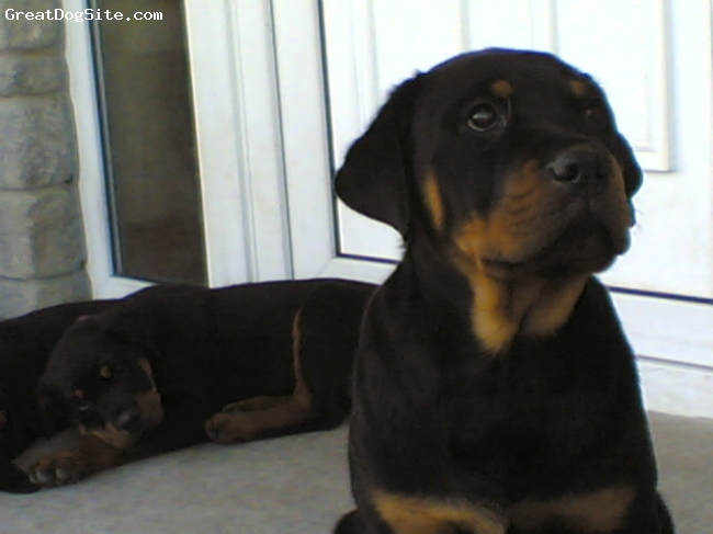 Rottweiler, 3 mths, black wid tan, LEO,again, d day I bought him..3 mths old.