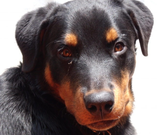 Rottweiler, 6 months, Black n Tan, Lovable Sultano ...