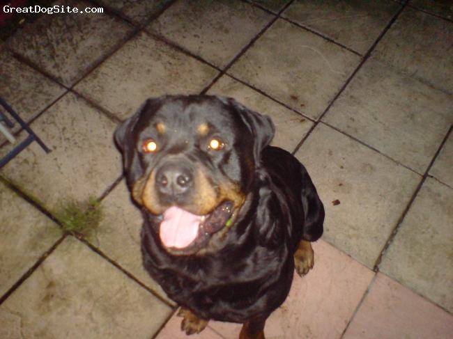 Rottweiler, 5, black/tan, guard dog