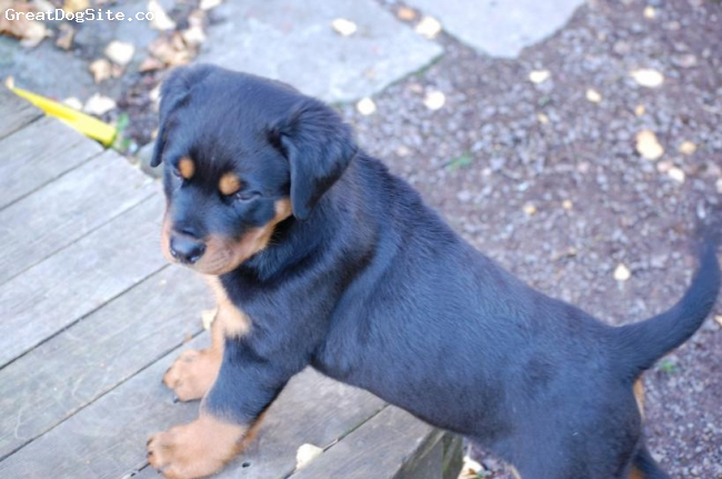 Rottweiler, 1 mounth, Black and brown, puppy