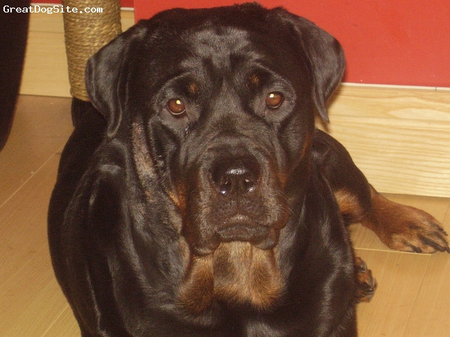 Rottweiler, 2, black and brown, she a big sook
