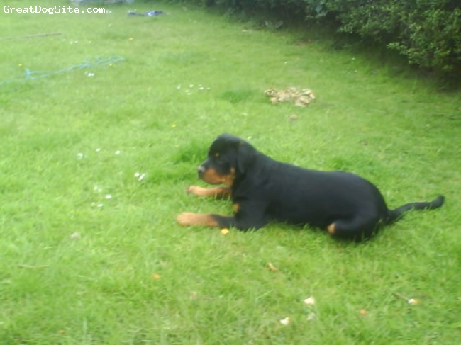 Rottweiler, 6 months, black tan, being lazy