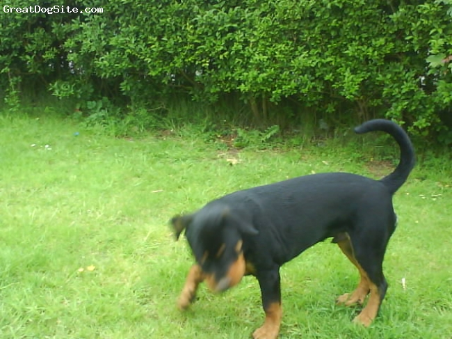 Rottweiler, 6 months, black tan, eating my plants again!