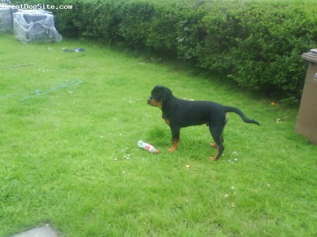 Rottweiler, 6 months, black tan, being nosey