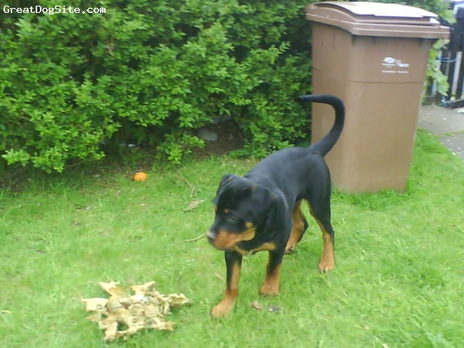 Rottweiler, 6 months, black tan, look what i did mum!