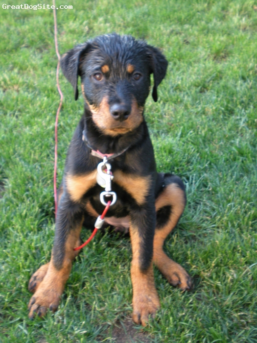 Rottweiler, 4 months, black and tan, She was having fun in the sprinkler