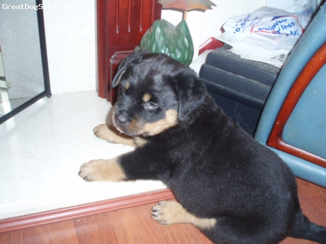 Rottweiler, 5 weeks old, black and tan, not sure where her mum is ?