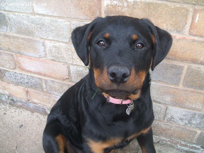 Rottweiler, 8 month, black and tan, i am 8 months old and my name is maddy i live with my mum and dad and also have a 3 year old gsd brother and we play play play all day long how fun is that,this is me so cute.