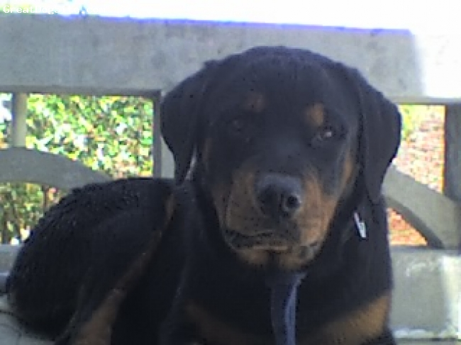 Rottweiler, 5 months, black tan, very lovable and loyal