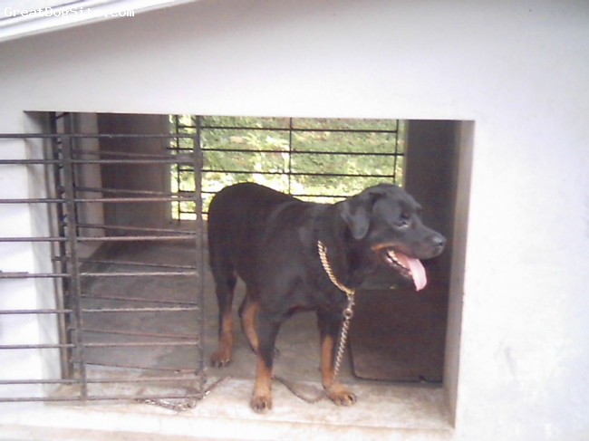 Rottweiler, 2 yrs, black$tan, rottweiler imported