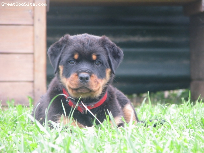 Rottweiler, 4 MONT, BLACK -AND TEN, BEST FEMALE FOR SHOW