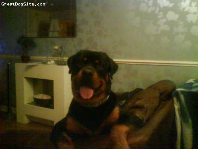 Rottweiler, 14 months, black + tan, Heres my baby now at 14 months!