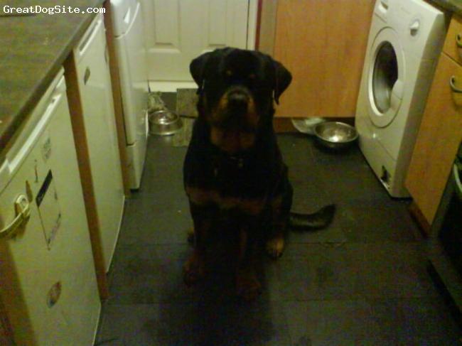 Rottweiler, 14 months, black + tan, wheres my dinner?