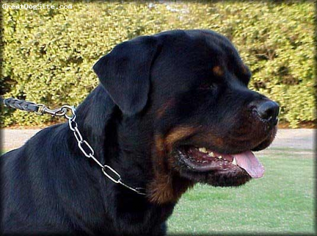 Rottweiler, 5, black, this is amit's dog  do not touch it          amit rockstar