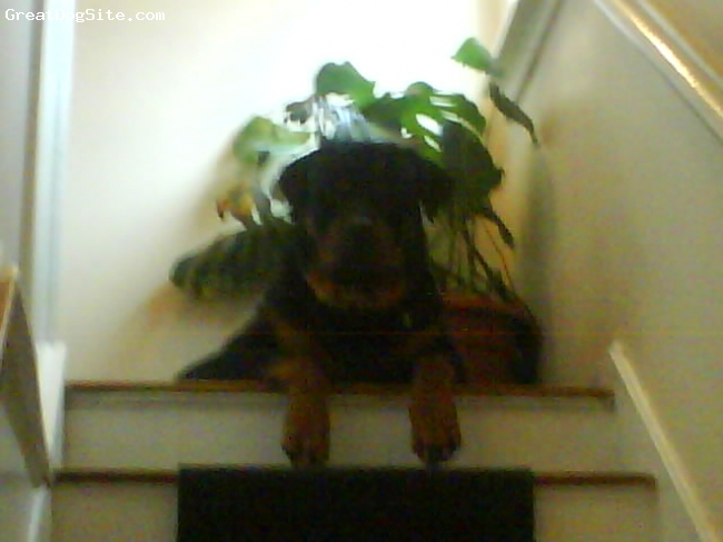 Rottweiler, 14 months, black and tan, phew these stairs are steep!