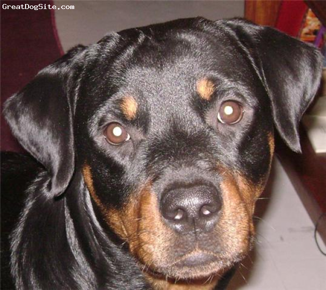 Rottweiler, 2 years, black, Very naughty,