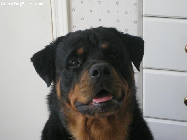 Rottweiler, 1  1 /2, black, big head