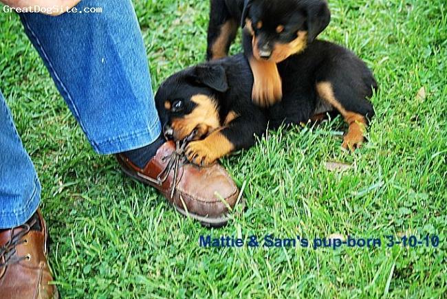 Rottweiler, 8 weeks, Black & Mahogony, Champion sired 8 week pup