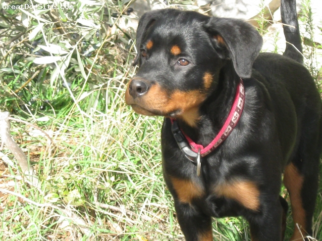 Rottweiler, 1, black and tan, good and playful dog