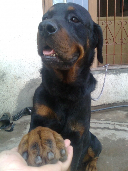 Rottweiler, 1 years, black /golden, great dog everyone scares to come at my home and he is fully trained