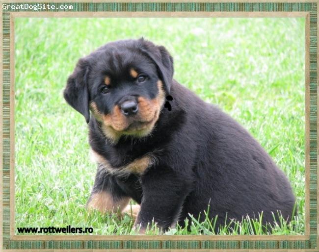 Rottweiler, 2 week, black, GINO DE YCUL(CA AITOR & METTE VON DER SCHERAU)