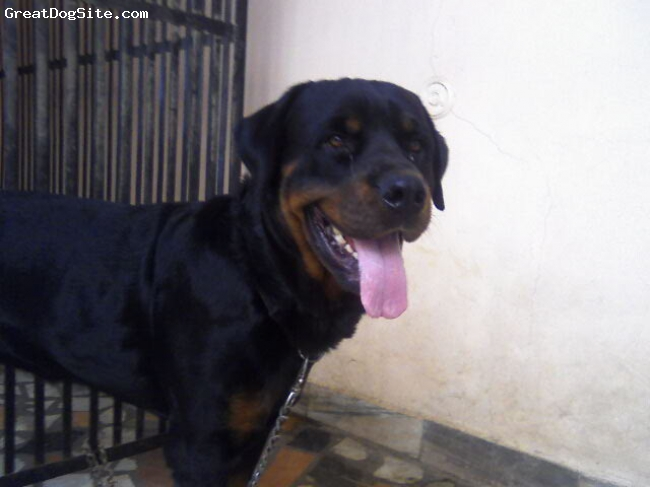 Rottweiler, 18 month, black, rottweiller.