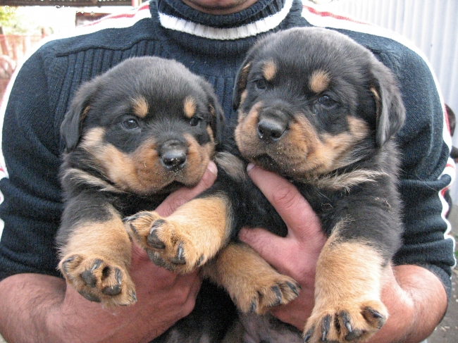 Rottweiler, 6 weeks, original(best), 4 male and 4female puppies