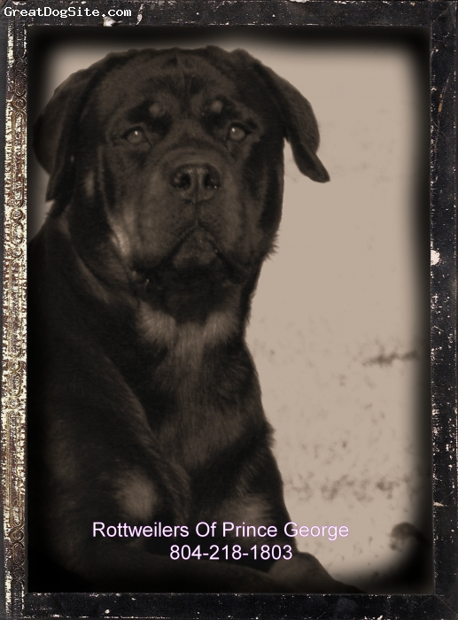 Rottweiler, 2, blk/rust, Female at 109lbs