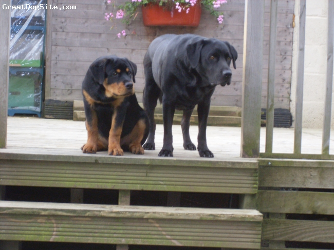 Rottweiler, 5 months, blk/tan, Our first Rotti leaning from his soulmate Meko (3yr old Lab,