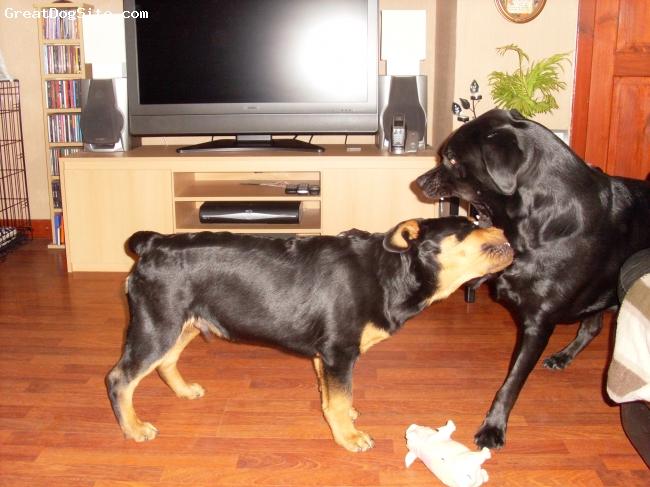 Rottweiler, 4 months, Blk/tan, I'm the boss now