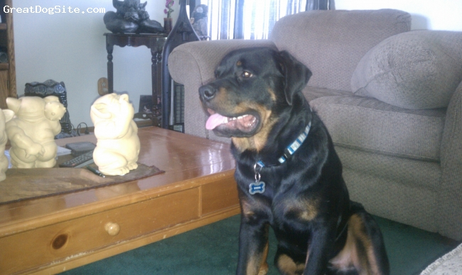 Rottweiler, Dozer 8 months old, black and mohogany, The sweetest dog you'll ever meet