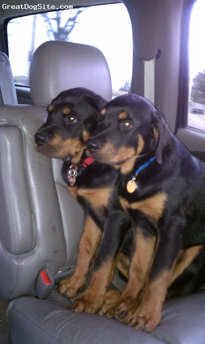Rottweiler, 3 Months, Black/Brown, They're brothers, they never leave each other's sides!!