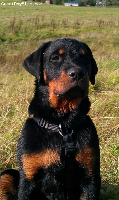Rottweiler, 4 months, black and tan, Lovely laid back Reggie