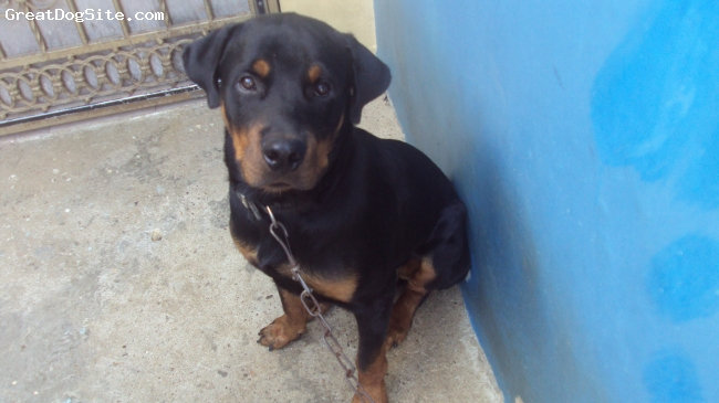 Rottweiler, 11 months, black/brown, obidient and nice with my one year old son. great guard dog.