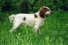 Russian Spaniel, Unknown, White and Orange
