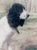 Russian Spaniel, Unknown, Balck and White