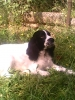Russian Spaniel, 7, black-white