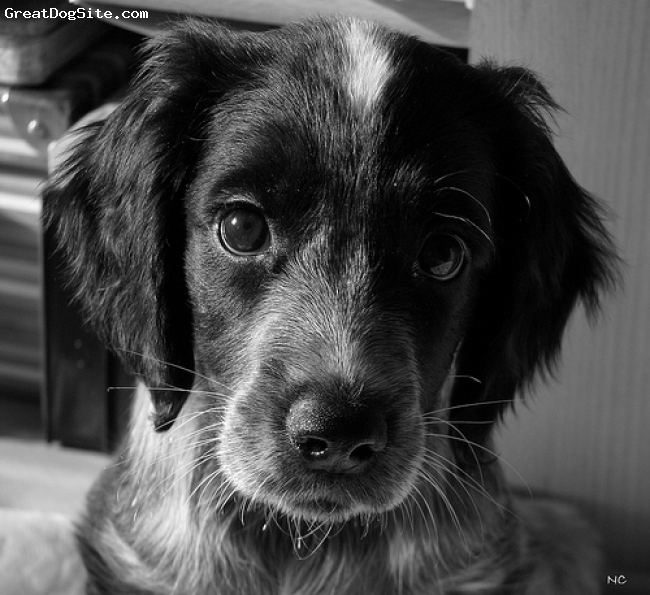 Russian Spaniel, Unknown, Balck and White, Russian Spaniel