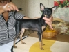 Russian Toy Terrier, 9 months, Black & Tan