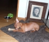 Russian Toy Terrier, 9 months, Red