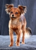 Russian Toy Terrier, 2 year, sable