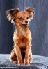 Russian Toy Terrier, 2 years, sable