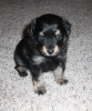 Russian Toy Terrier, 5 weeks old, black and tan