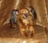 Russian Toy Terrier, Born 2007, red sable