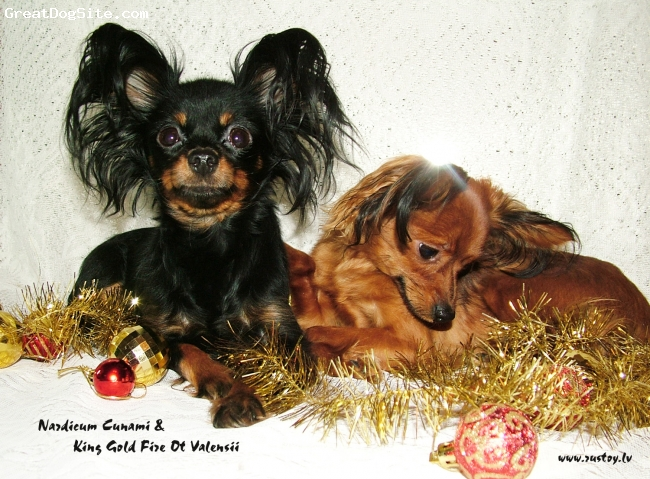Russian Toy Terrier, 2, black and tan, here we are :)