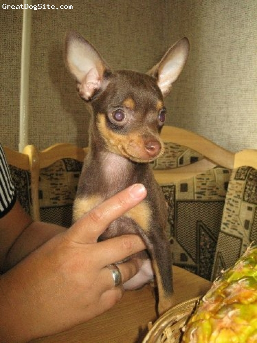 Russian Toy Terrier, 9 months, Brown & Tan, Our Brown and Tan girl from Belarus