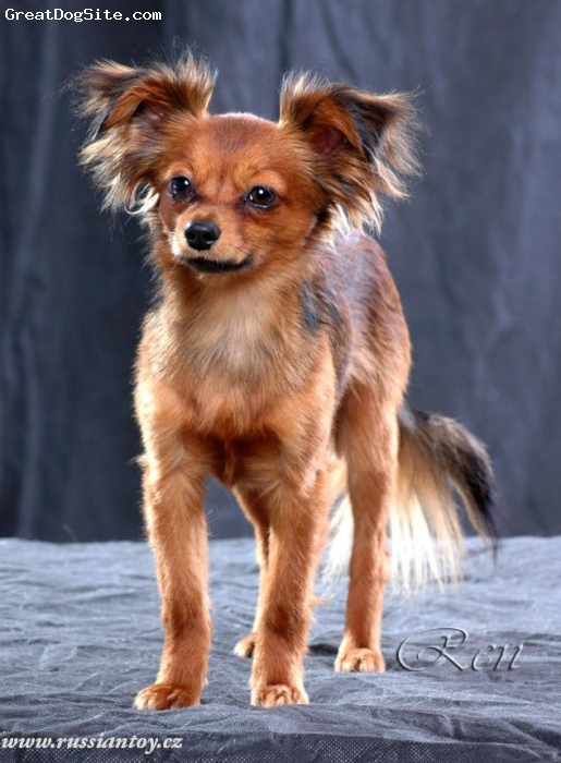 Russian Toy Terrier, 2 year, sable, Foto: age 1 year